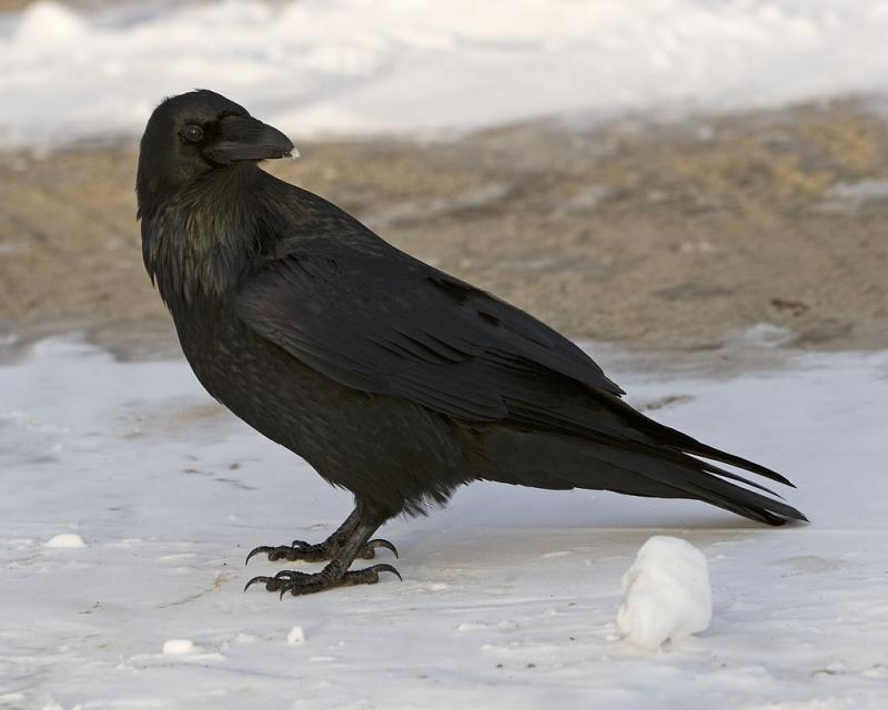 Raven on ground, 8x10 crop, head turned