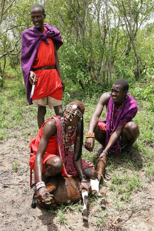 Sacrifice de deux chèvres par les Masaï, en lhonneur de notre visite