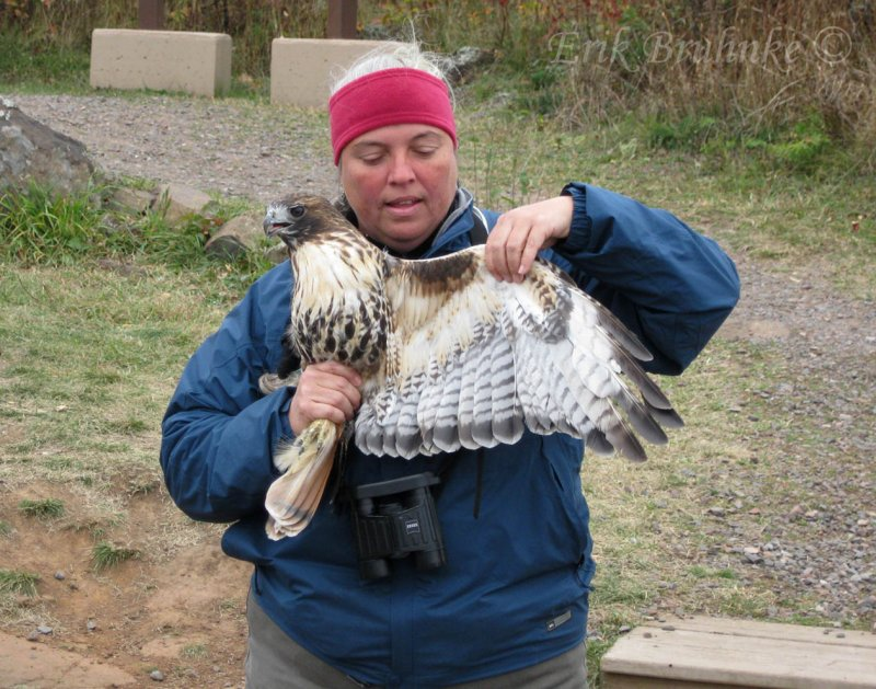 Margie displaying the first banded adult Red-tailed Hawk of the season!