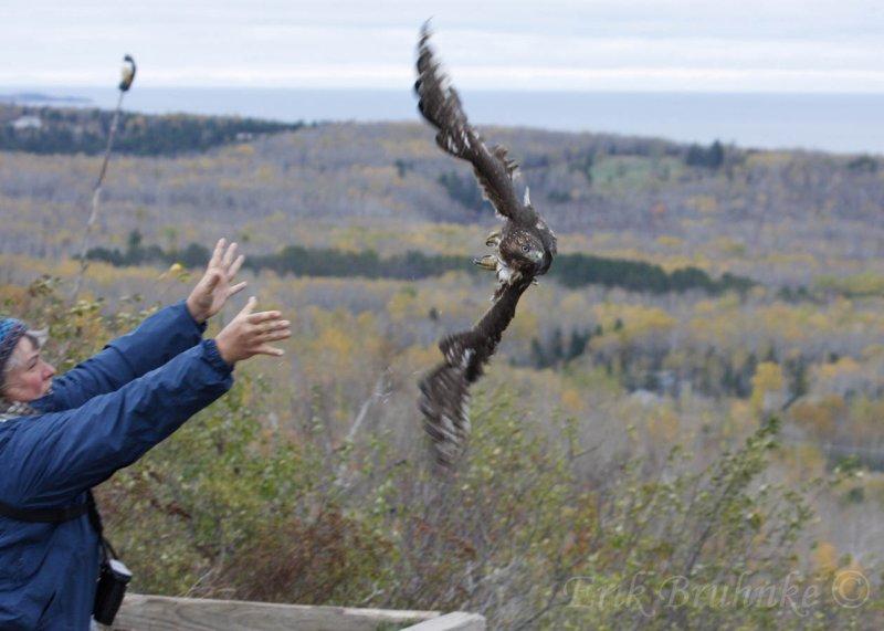 Juvenile rufous morph Red-tailed Hawk