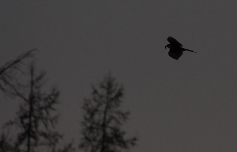 Late-in-the-day Gray Jay, flying with food!