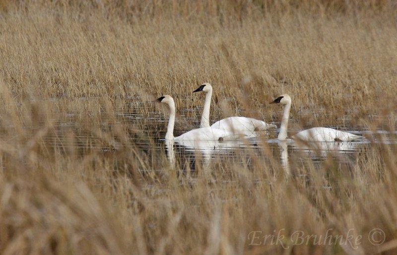 Three Trumpeter Swans