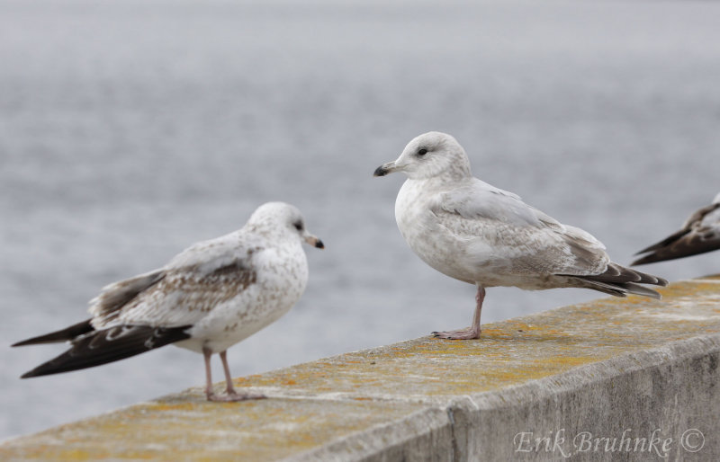 2nd-cycle Thayers Gull (right) and 1st-cycle Ring-billed Gull (left)