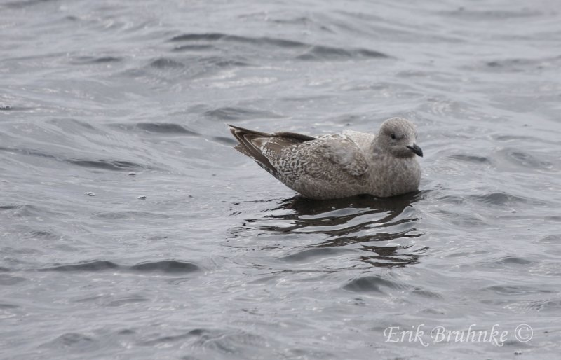 Thayers Gull (1st-cycle)