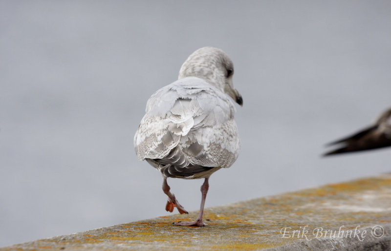 Thayers Gull (2nd-cycle)