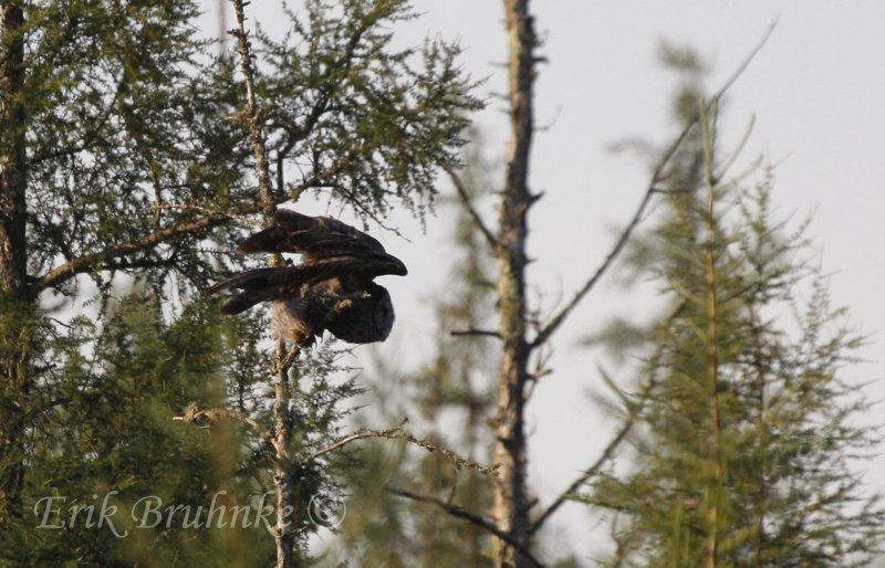 Great Gray Owl about to dive off!
