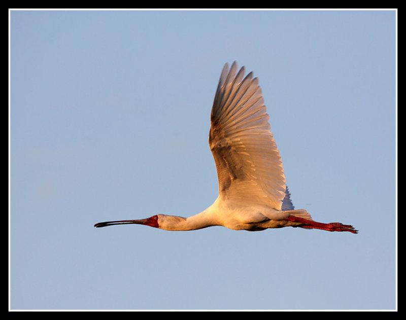 Spoonbill, Okavango Delta Roost, Little Kwara