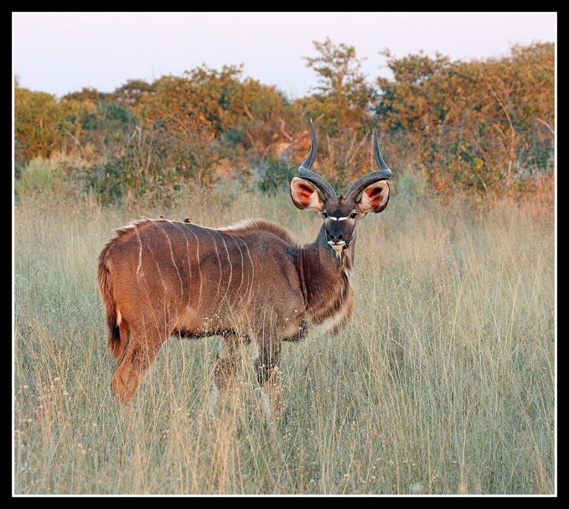 Kudu, Lebala
