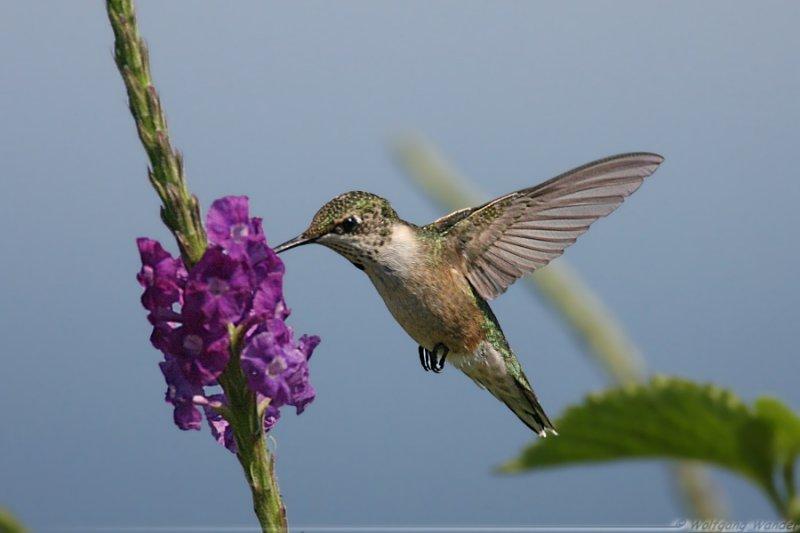 Ruby Throated Hummingbird <i>Archilochus Colubris</i>