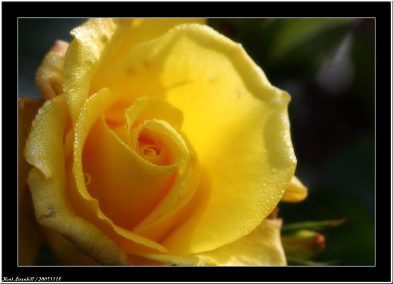 20051118 - Rose -