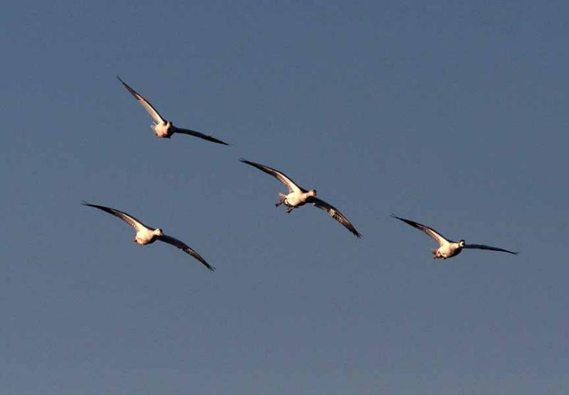 Snow Geese in formation