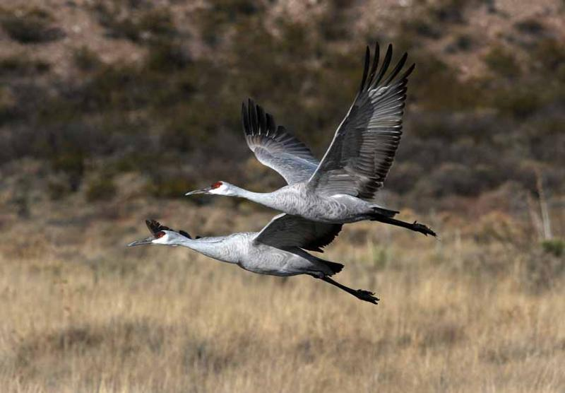 A pair of Greater Sandhill Cranes