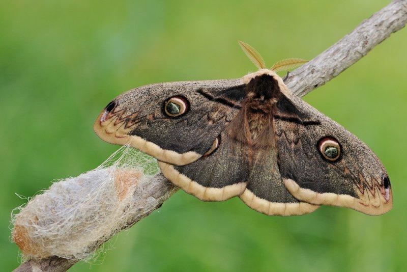 <h5>Giant Peacock Moth - שבתאי השקד - <i>Saturnia pyri<i></h5>