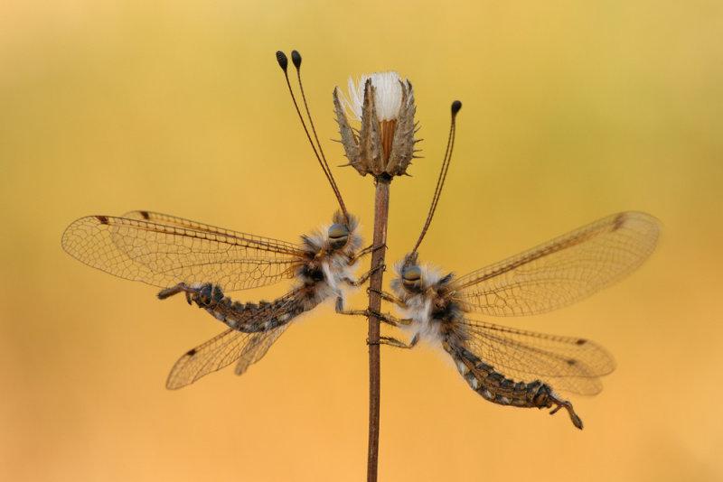 <h5>Owlfly - ארימחוש שעיר - Bubopsis andromache</h5>