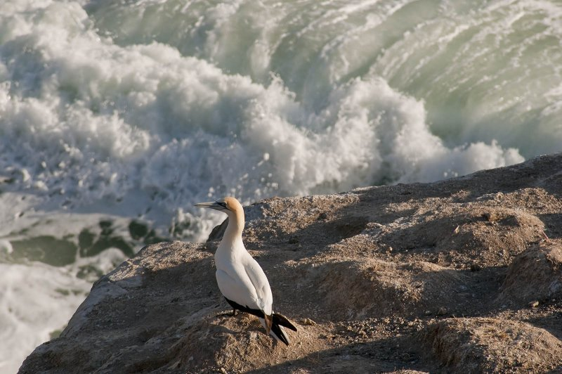 A lone gannet at the Muriwai Gannet Colony