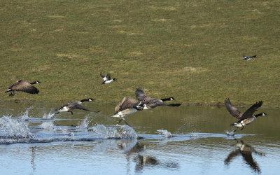 Kanadagäss och knipor lyfter från vattnet