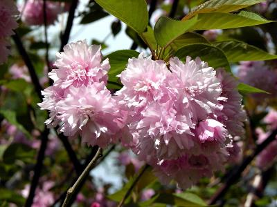 Japanese Flowering Cherry (closeup)