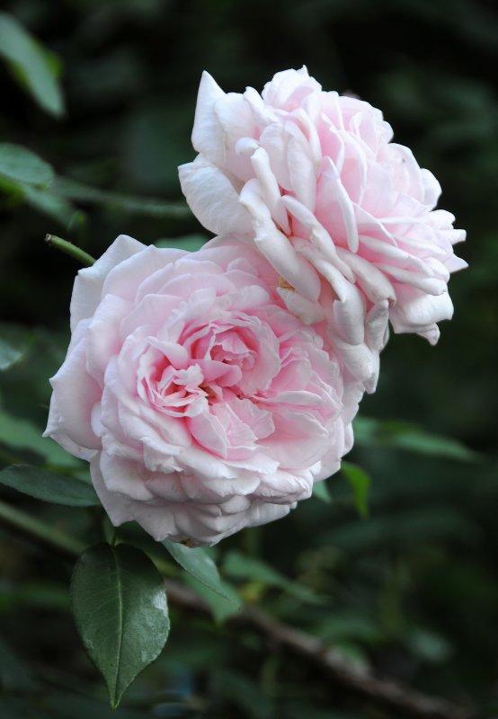 Rosa Crown Princess Victoria