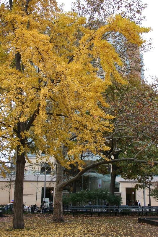 Ginkgo Tree & NYU Student Center