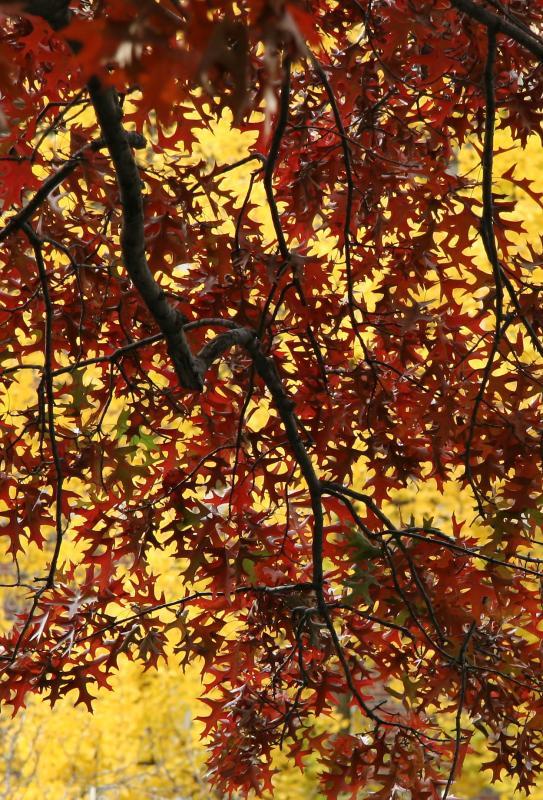 Oak & Ginkgo Foliage at NYU Law School