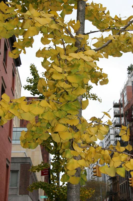Ginkgo Tree at NYU Law School near Thompson