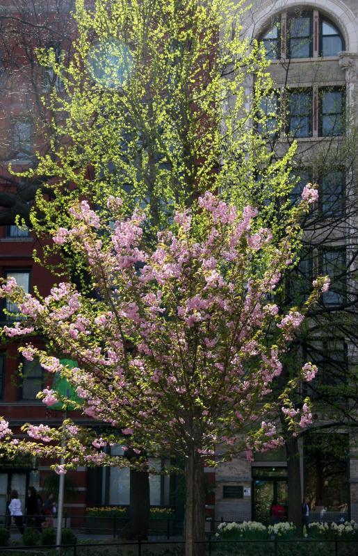 Cherry Tree Blossoms & New Ginkgo Tree Foliage