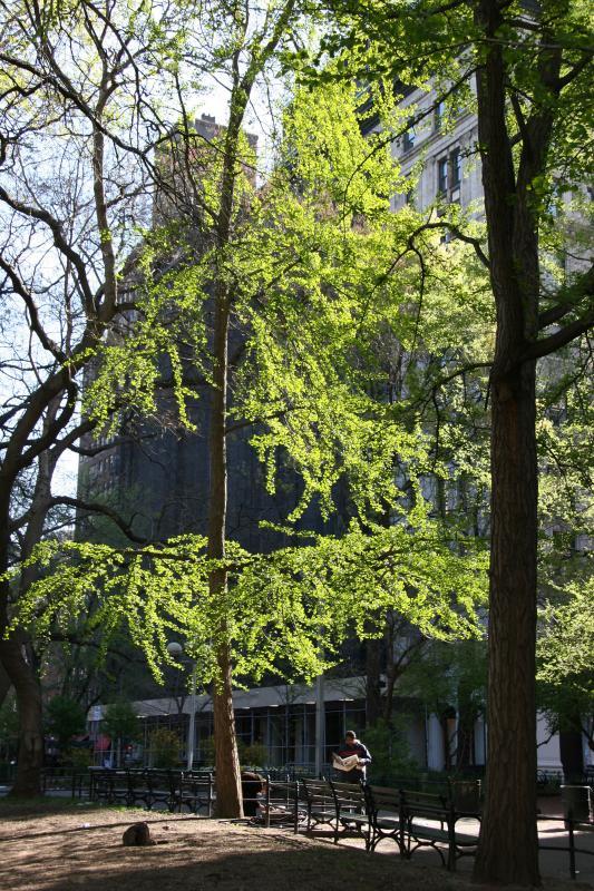 Ginkgo Tree New Foliage - Washington Square East