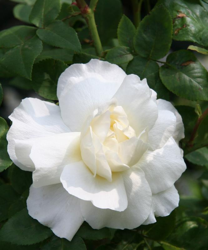 Crown Princess Victoria Rose