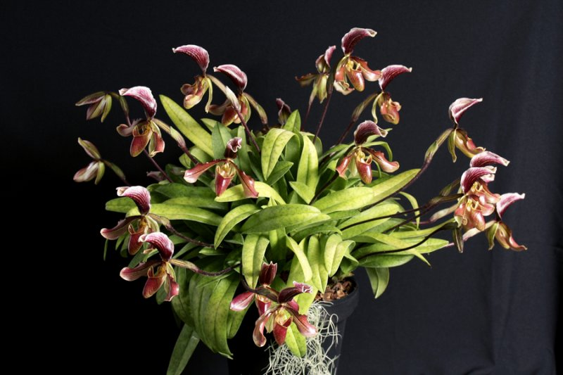20113306 -   Paph. Swanianum Don McNeely  CCM AOS 84 points  1 29 2011.jpg