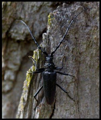 Great Capricorn Beetle (Större ekbock - Cerambyx cerdo) Halltorp Öland
