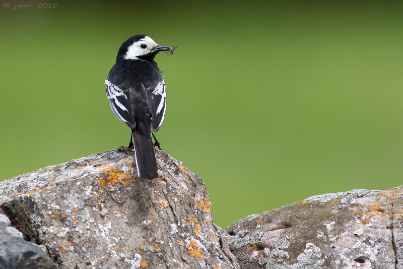 Rouwkwikstaart/Pied wagtail