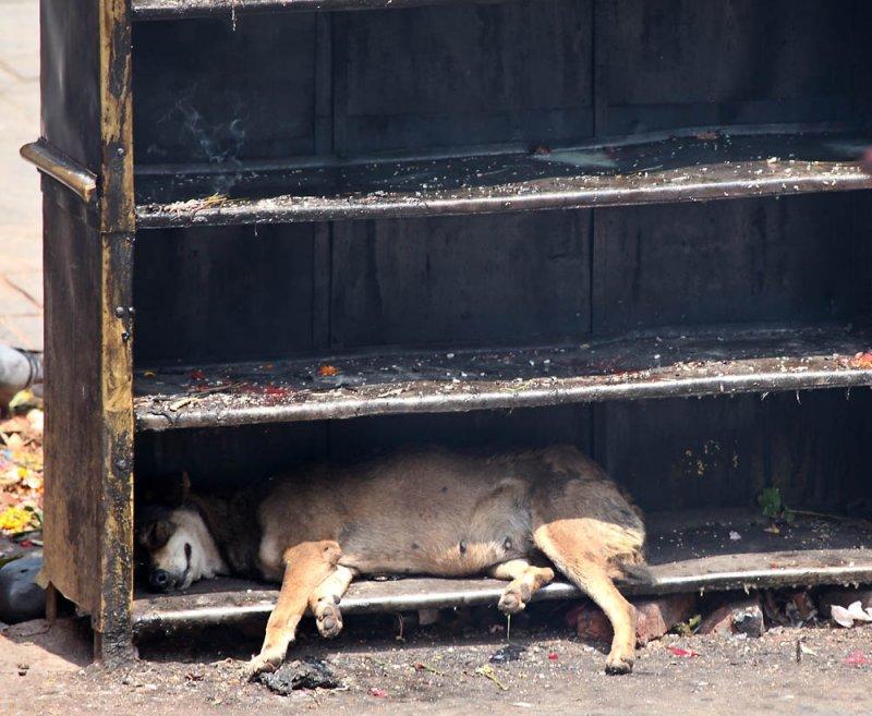 The way the Nepali dog sleeping