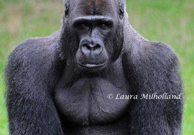 Gorillas Photo Gallery By Laura Milholland At Pbase Com