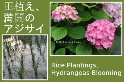 Rice Plantings, Hydrangeas Blooming