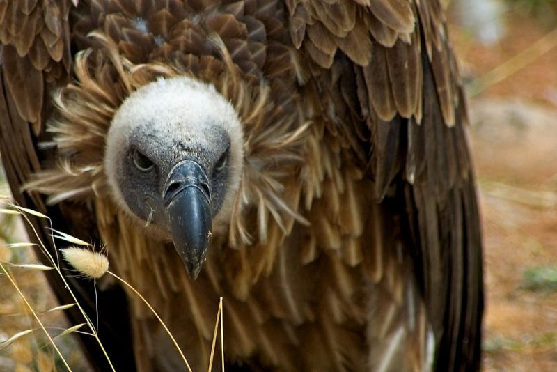 The look! Vulture, Benalmadena
