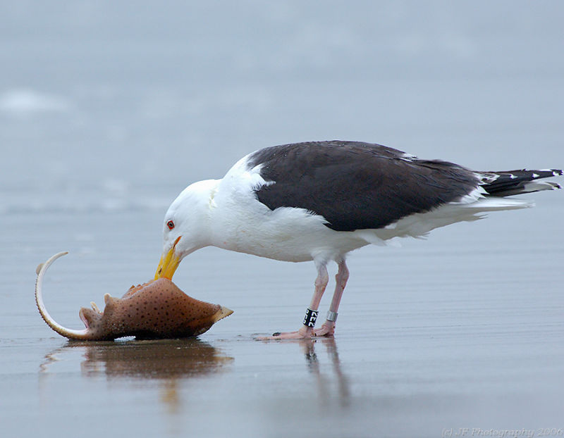227 _JFF6680 Banded Black Backed Gull and Skate