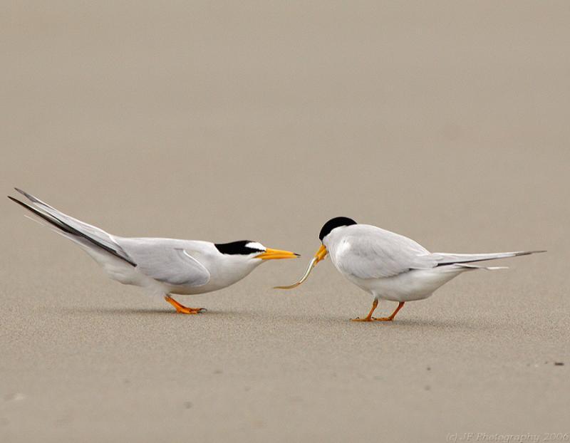 229 _JFF6908 Least Terns Mate Feeding