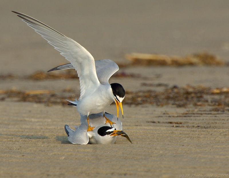 232 _JFF7541  Least Terns Breeding