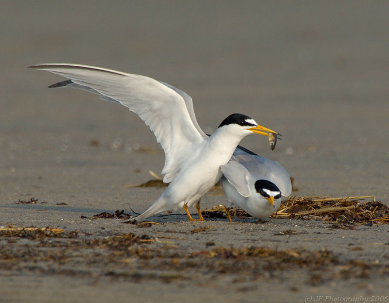 230 _JFF7577 Least Tern Mating Dance