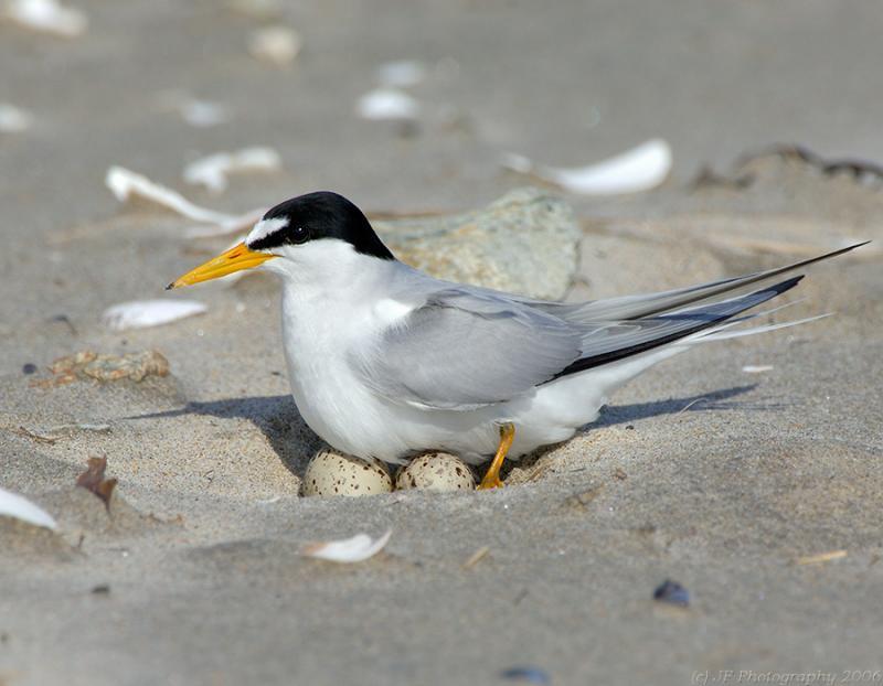 235 _JFF8378  Least Tern Settling in on Eggs in the Nest
