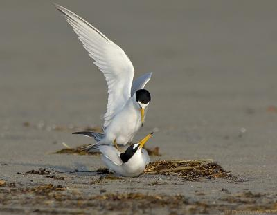 233 _JFF758 Least Terns Mating ~ Are You Finished Yet?