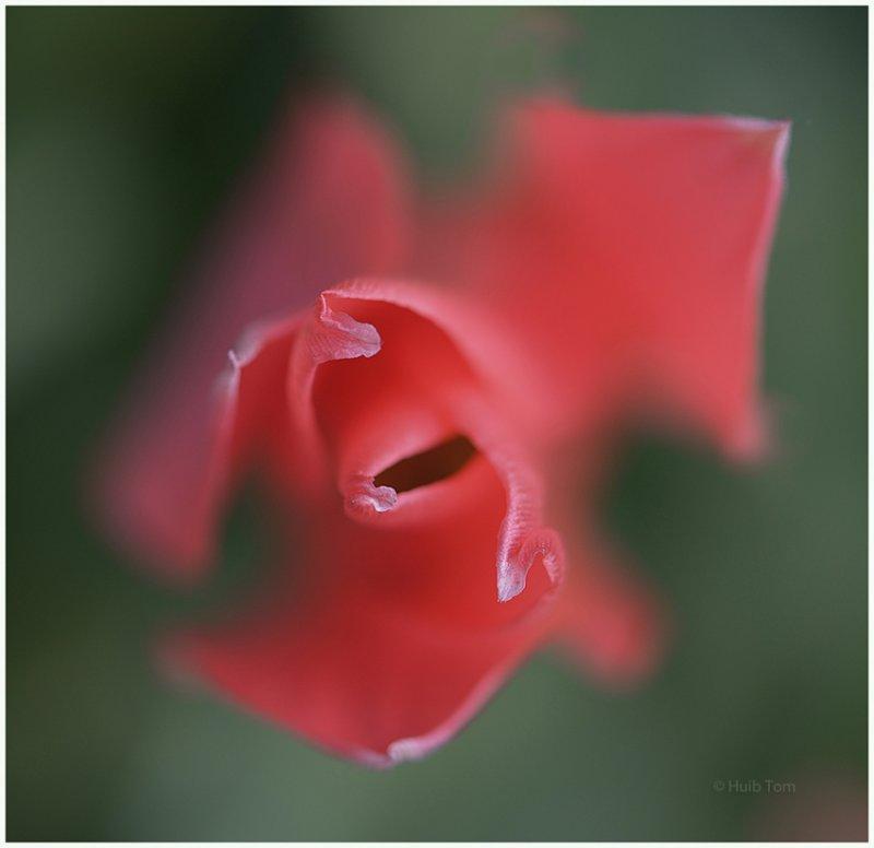 Tulp - Tulip