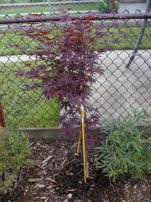 bamboo leaf japanese maple bonsai. +japanese+maple+varieties