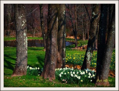 Trees And Daffs