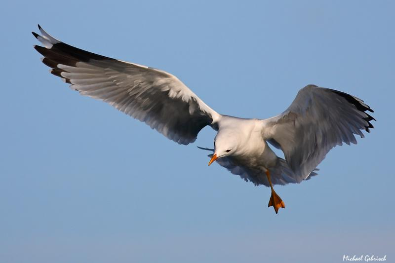 One-footed Gull