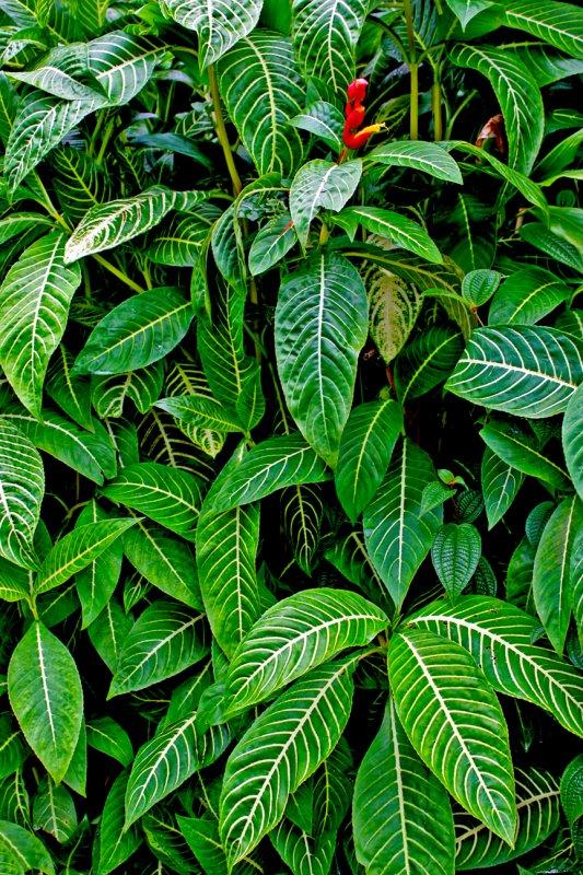 Sanchezia plant, Akaka Falls State Park, HI.jpg