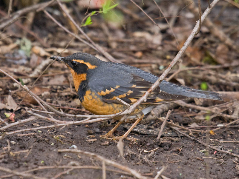 Pacific NW specialty... Varied Thrush - Pacific NW Birder