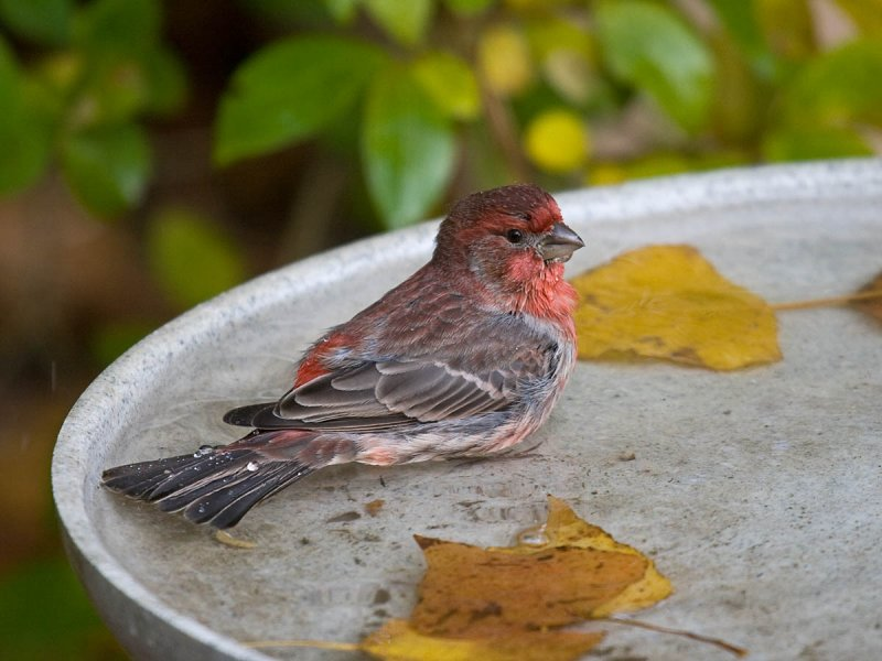 House Finch - Pacific NW Birder