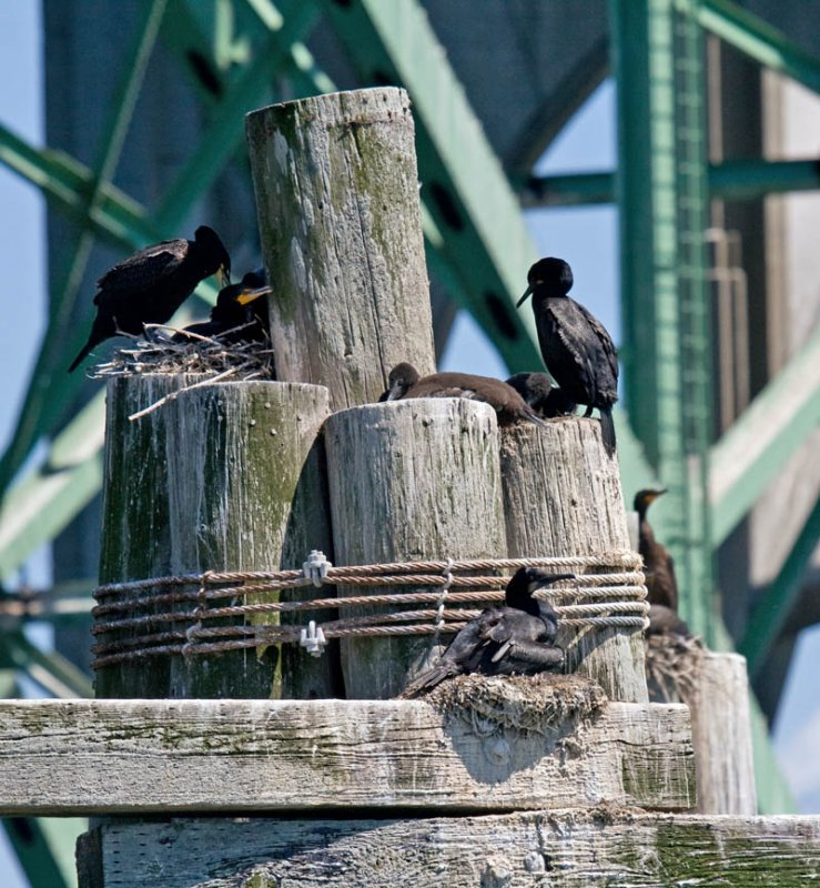 Nests of Brandt's Cormorant and Double-crested Cormorant