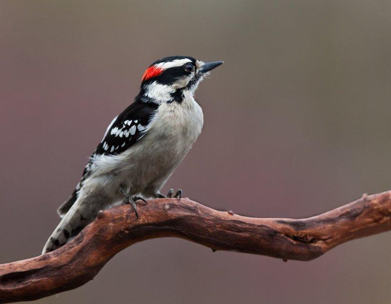 Pic mineur (Downy Woodpecker)